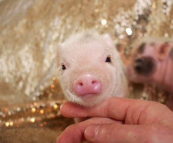 teacup piglet for sale