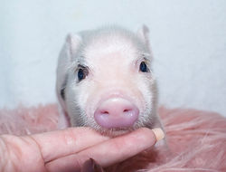 Teacup pigs for sale, mini pigs for sale, pet pig, miniature pigs for sale, pet piglet, pig pet, teacup pig, teacup pig for sale, pet pigs for sale, miniature pigs