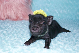 Teacup pigs for sale, mini pigs for sale, pet pig, miniature pigs for sale, pet piglet, pig pet, teacup pig, teacup pig for sale, pet pigs for sale, miniature pig