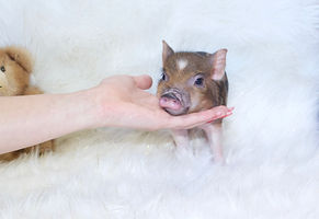 mini pis for sale, teacup pigs for sale, pet pig, miniature pigs for sale, pet iglet, pig pt, teacup pig, teacup pig for sale, pet pigs for sale, miniature pig