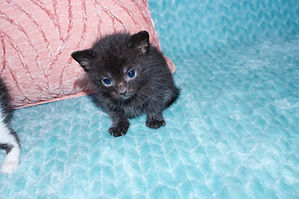 Teacup kitten for sale in South Carolina
