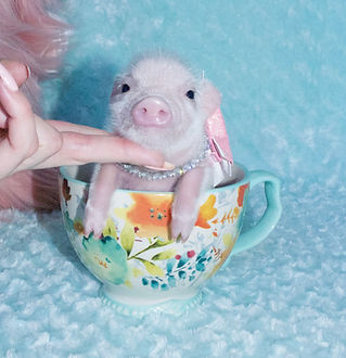 mini pigs for sale, teacup pigs for sale, pet pig, miniature pigs for sale, pet piglet, pig pet, teacup pig, teacup pig for sale, miniature pig