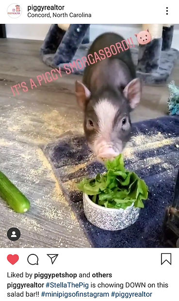 Teacup Pig for Sale