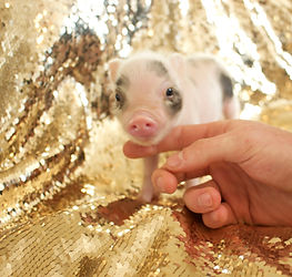 teacup piglet for sale nc, mini pigs for sale, teacup pigs for sale, pet pig, miniature pigs for sale, pet piglet, pig pet, teacup pig, teacup pig for sale, miniature pig