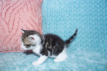 Micro teacup kittens for sale near north carolina