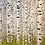 "Thumbnail: ""Birch Tree Grove"""