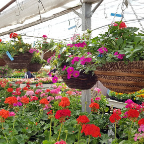 Hanging baskets in stock now!
