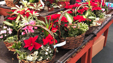 Christmas Giftware & House Plants
