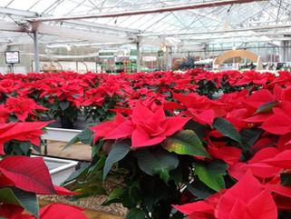 Cyclamen & Poinsettias Now Available!