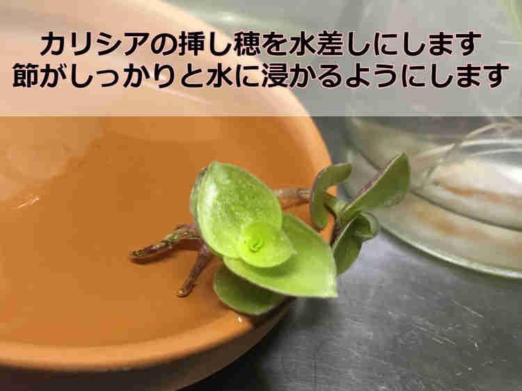 カリシアの挿し穂を水につけます