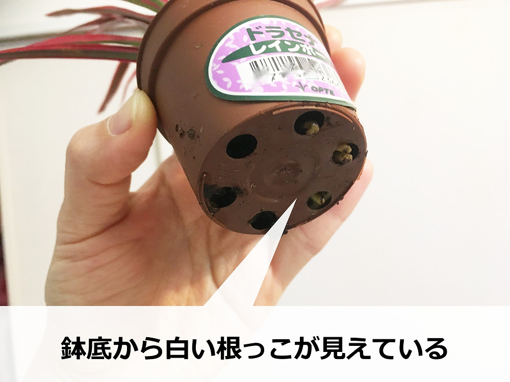 鉢底から根っこがはみ出てるドラセナレインボー