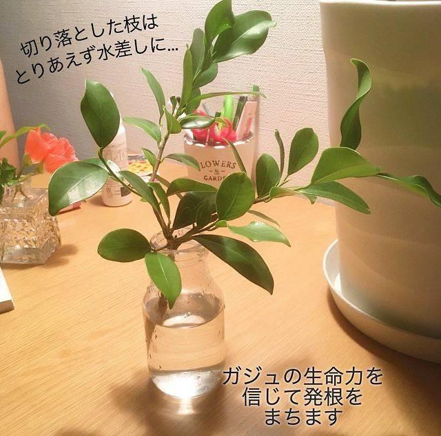 ガジュマルの剪定した枝(挿し穂)