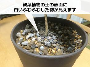 観葉植物のカビ!原因と予防法【土に白いふわふわ】