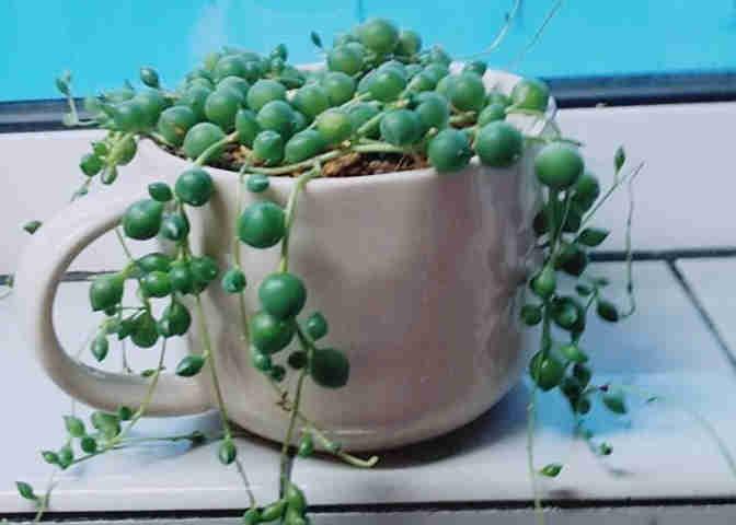 ドルフィンネックレスの交配前の植物のひとつ「グリーンネックレス」