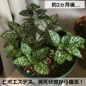 ヒポエステス【アフター】
