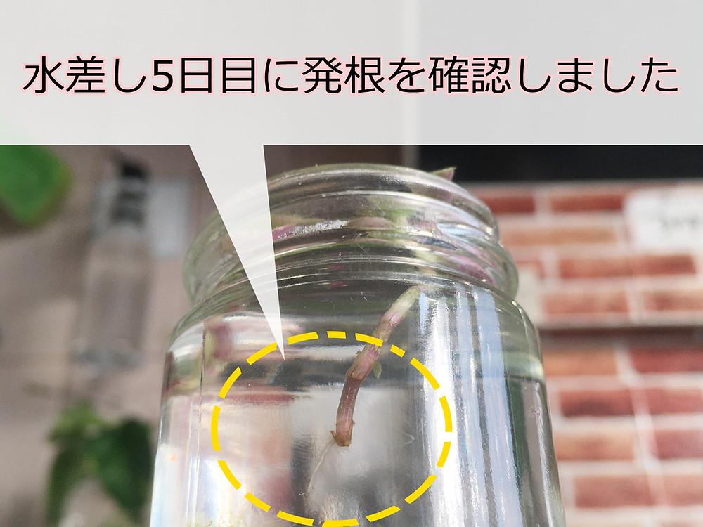発根後のカリシアの挿し穂