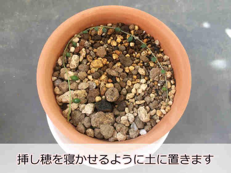 土に寝かせたグリーンネックレスの挿し穂(発根済)