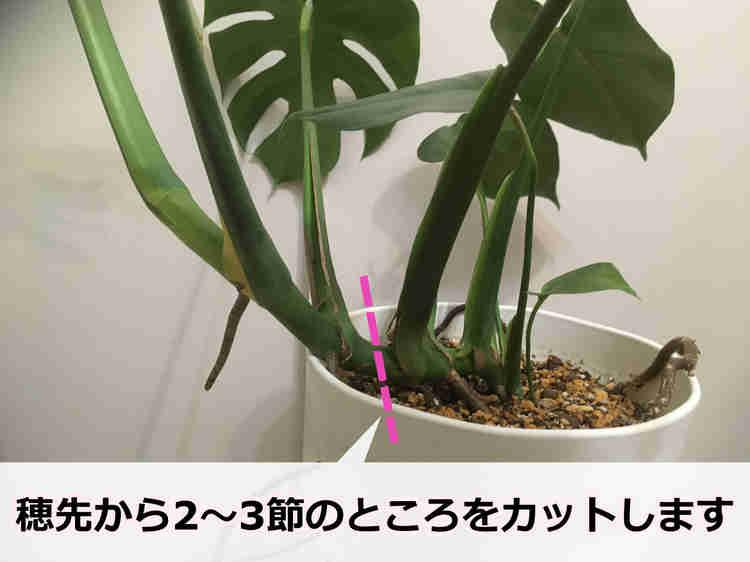 モンステラの茎