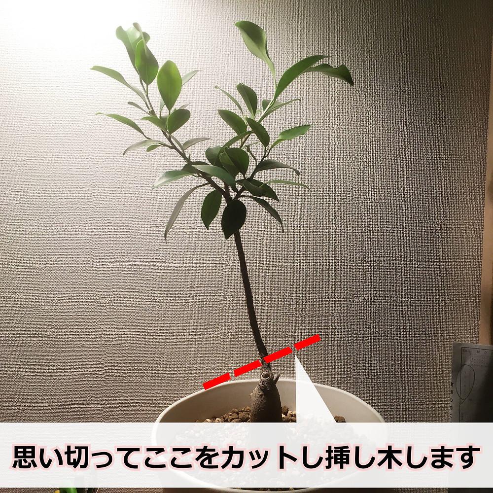 ガジュマルを剪定した枝で挿し木します