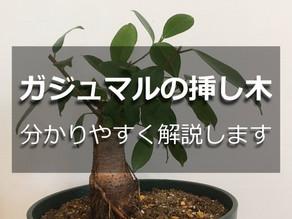 ガジュマルの挿し木【初心者でも簡単に増やす方法!】