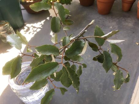 ナワシログミを挿し木で育てる【経過レポート】