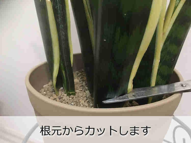 サンスベリアの葉を根元から切る