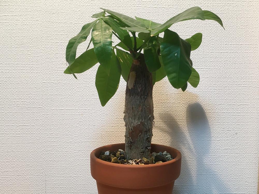 冬場のパキラ(鉢植え)