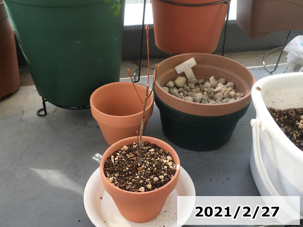 植え替え後のドウダンツツジ苗木