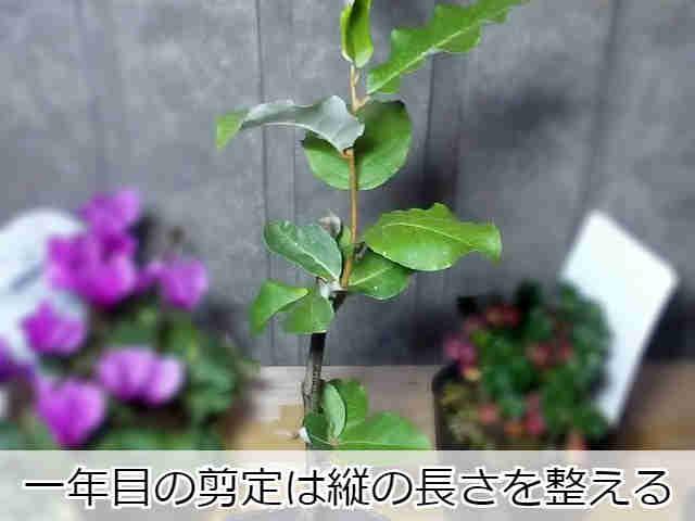 鉢植えのグミの木(一年目)
