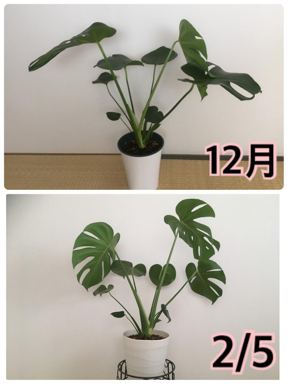 植え替え前と植え替え後1か月経過したモンステラの比較