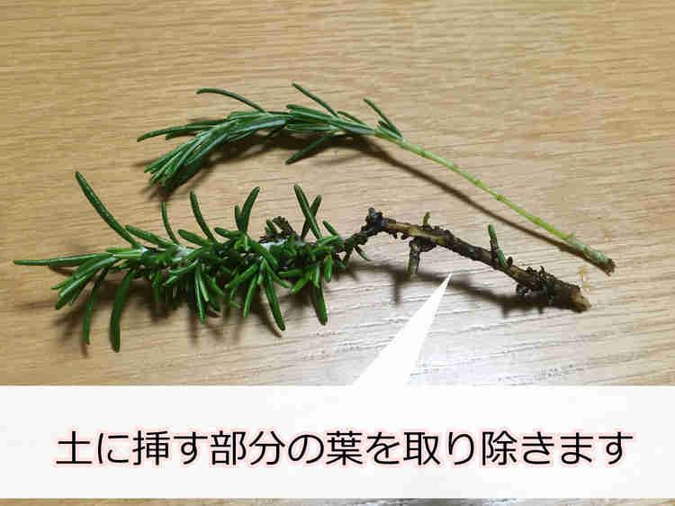 下葉をとったローズマリーの挿し穂