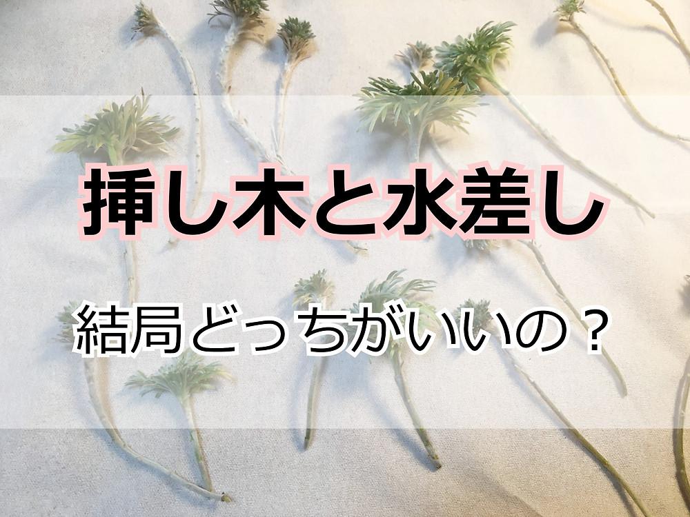 アサギリソウの挿し穂