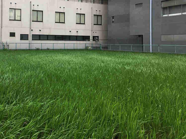 江坂駅前の田んぼ(初夏)