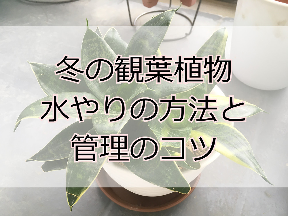 冬場の観葉植物の水やり方法と管理コツ