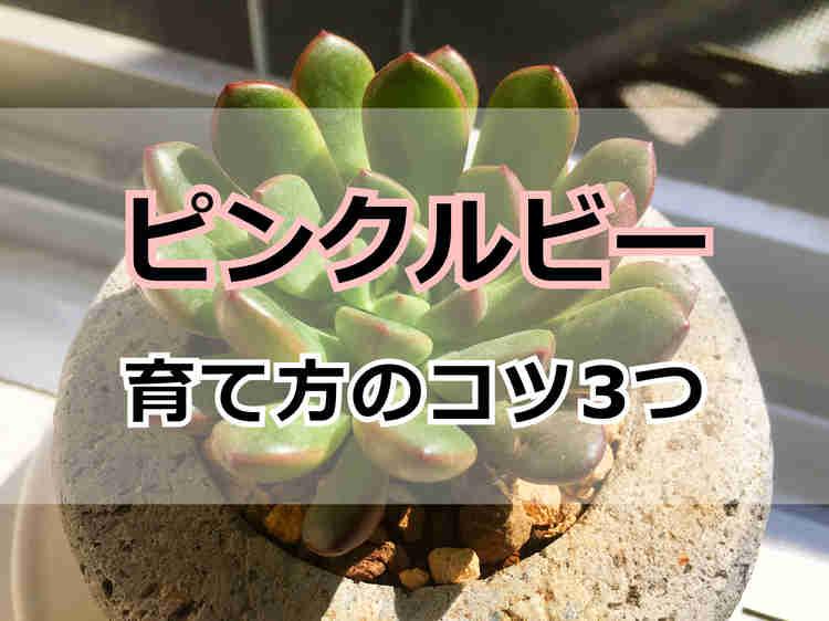 ピンクルビー(多肉植物)