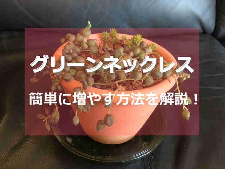 鉢植えのグリーンネックレス
