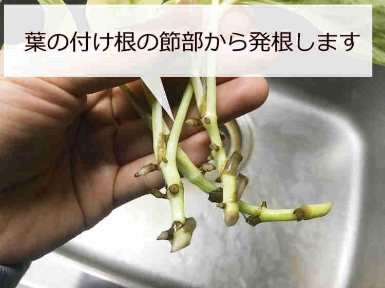 発根したポトスの挿し芽