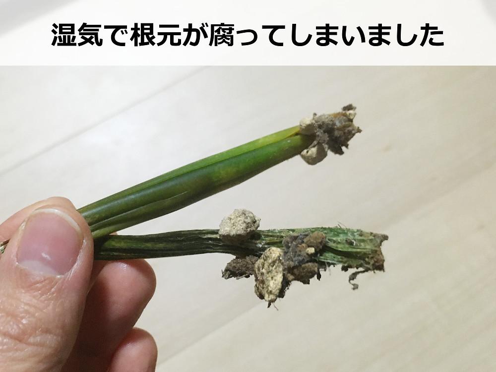 腐ったサンスベリアの葉