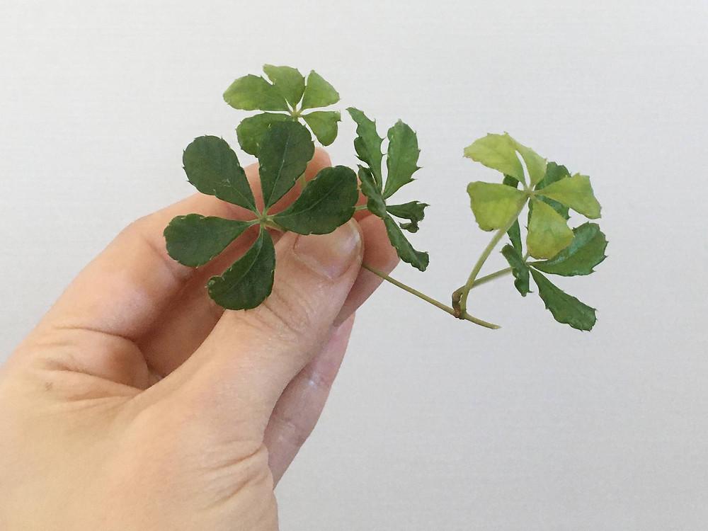 挿し穂として利用するためのシュガーバインの茎