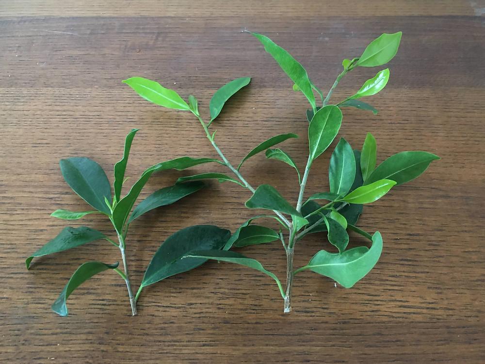 葉が多すぎる挿し穂は乾燥しやすい