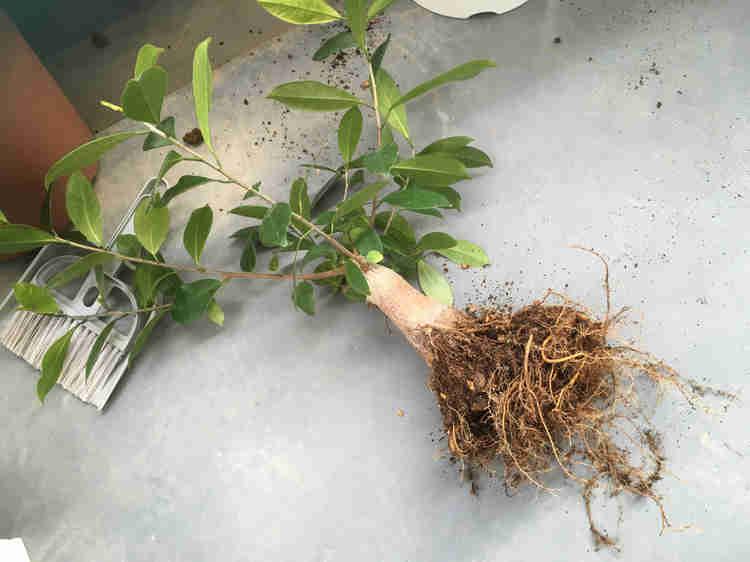 植え替えのため根鉢を崩したガジュマル