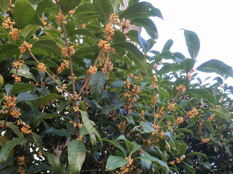 今にもいい香りが漂ってきそうなキンモクセイの花