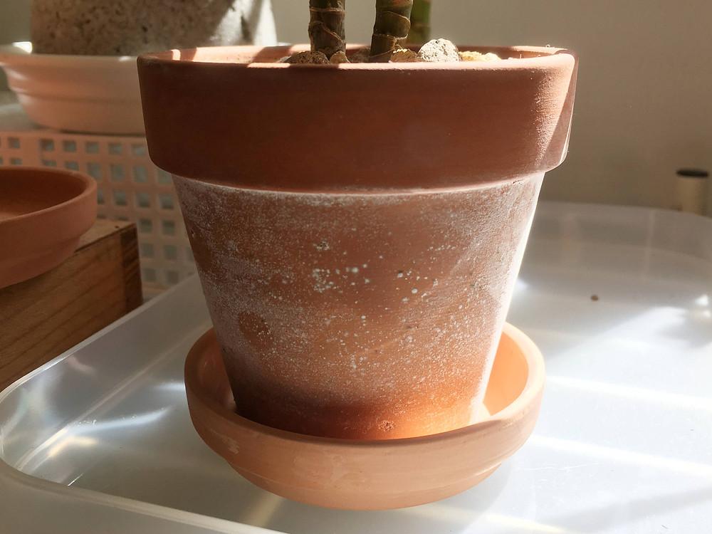 表面に白いカビが付着した素焼き鉢
