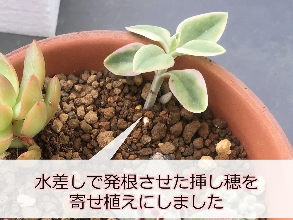 寄せ植えにしたベビーサンローズの発根済の挿し穂