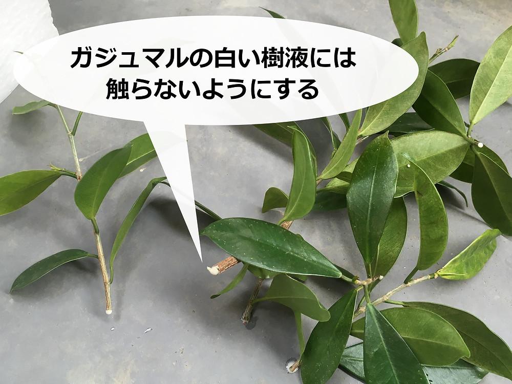 剪定したガジュマルの切り口から染み出る白い樹液