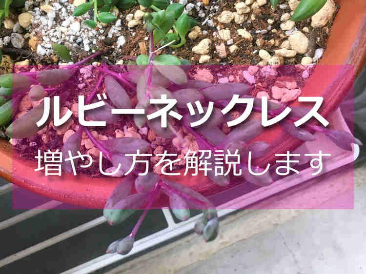 多肉植物「ルビーネックレス」