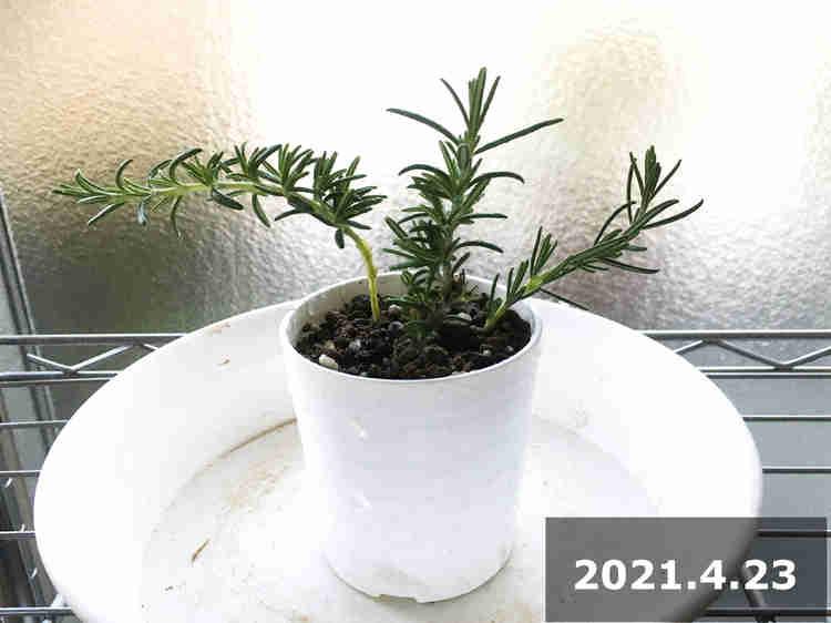 ローズマリーの挿し木