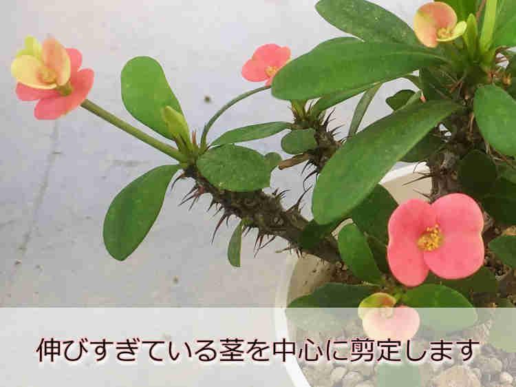 ハナキリンの茎