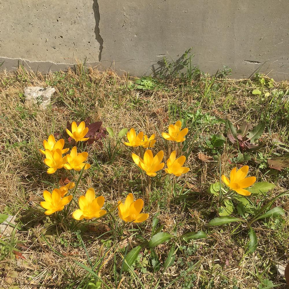 団地に咲くクロッカス