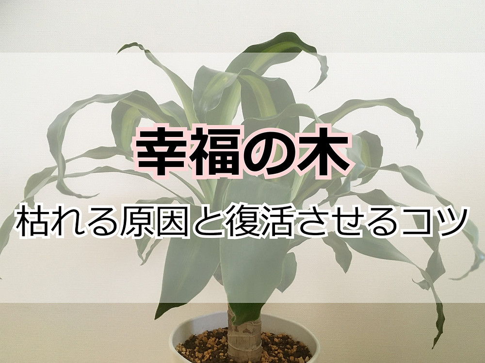 幸福の木(ドラセナ・マッサンゲアナ)